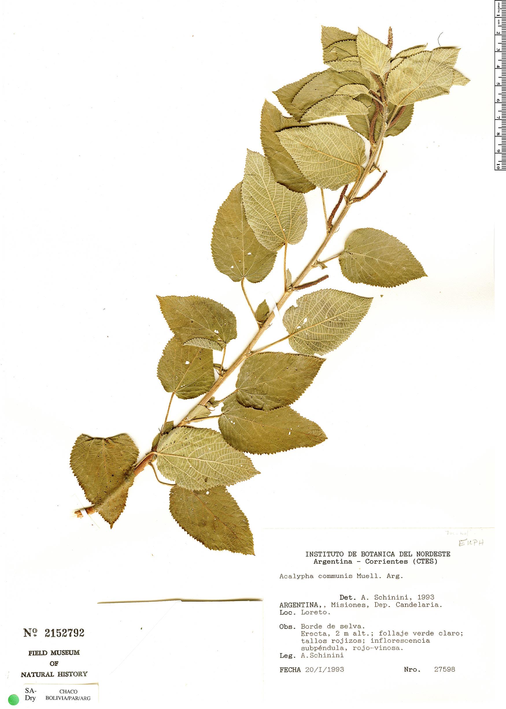 Specimen: Acalypha communis