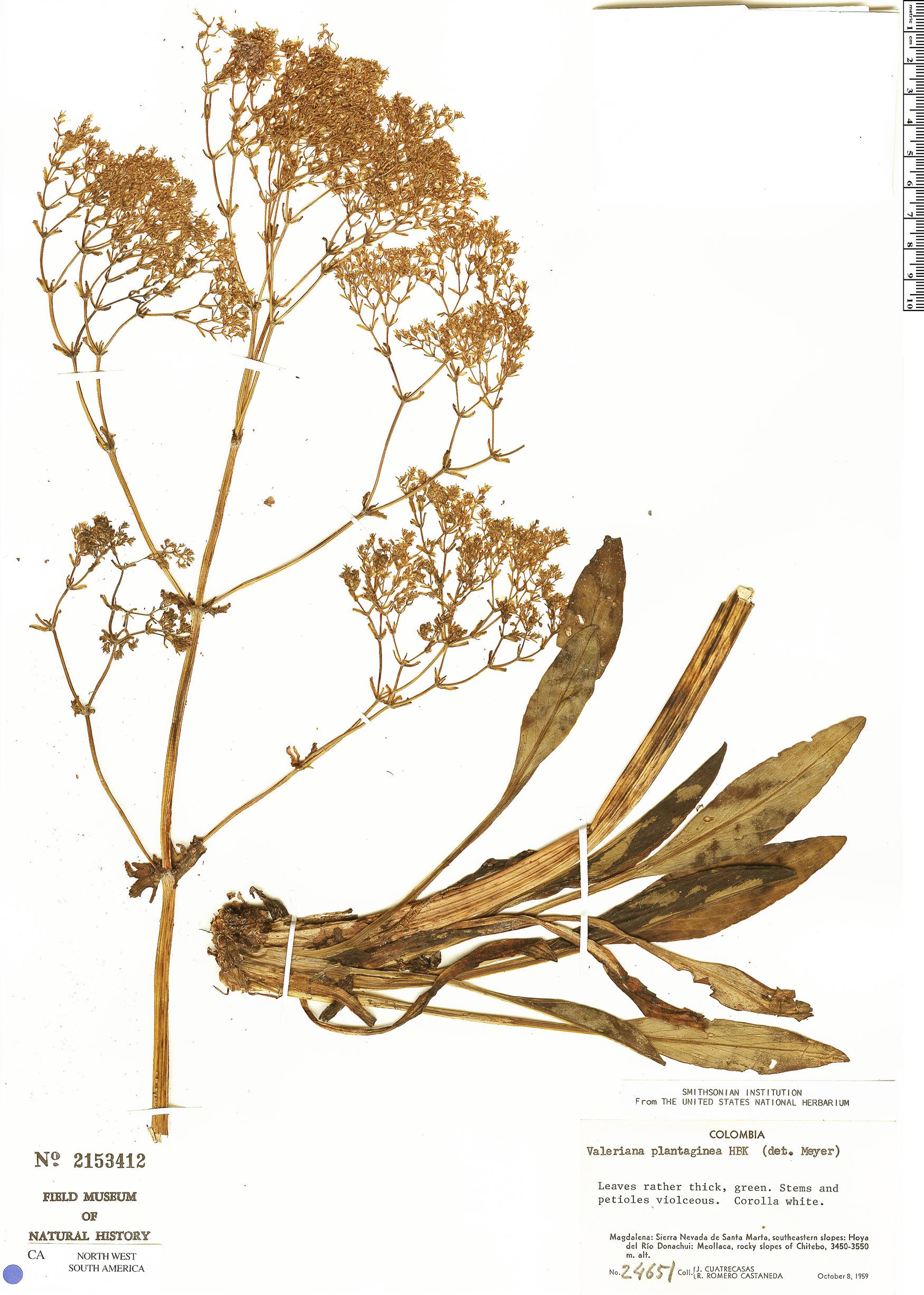 Specimen: Valeriana plantaginea