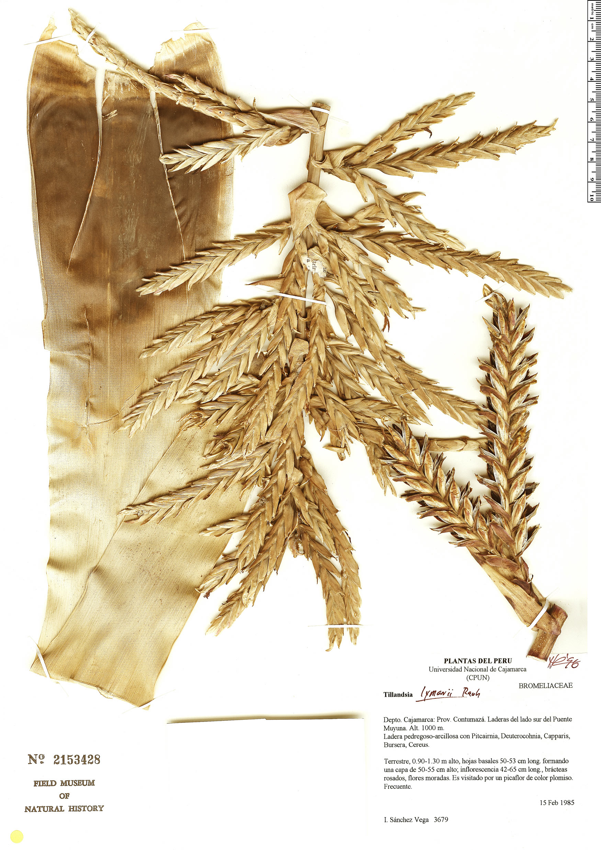 Specimen: Tillandsia lymanii
