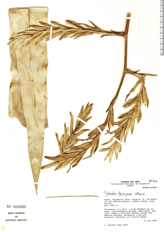 Specimen: Tillandsia ferreyrae