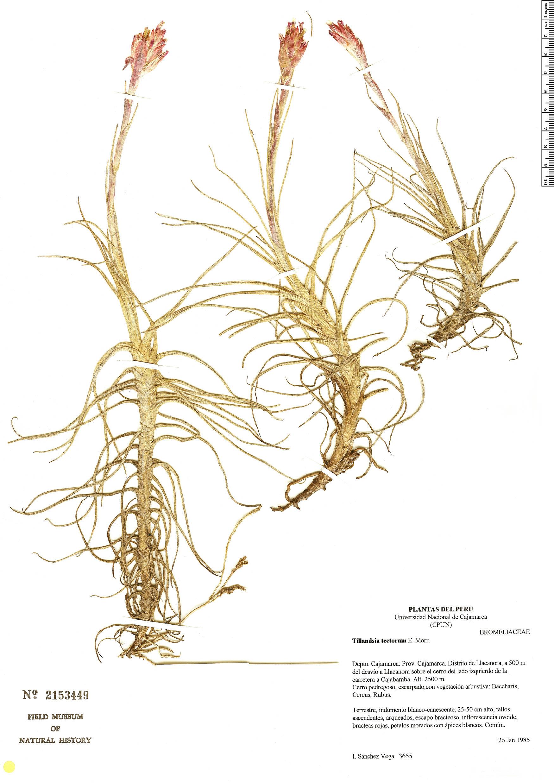 Espécimen: Tillandsia tectorum