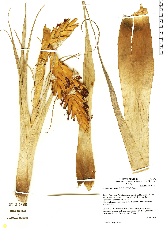 Specimen: Tillandsia harmsiana