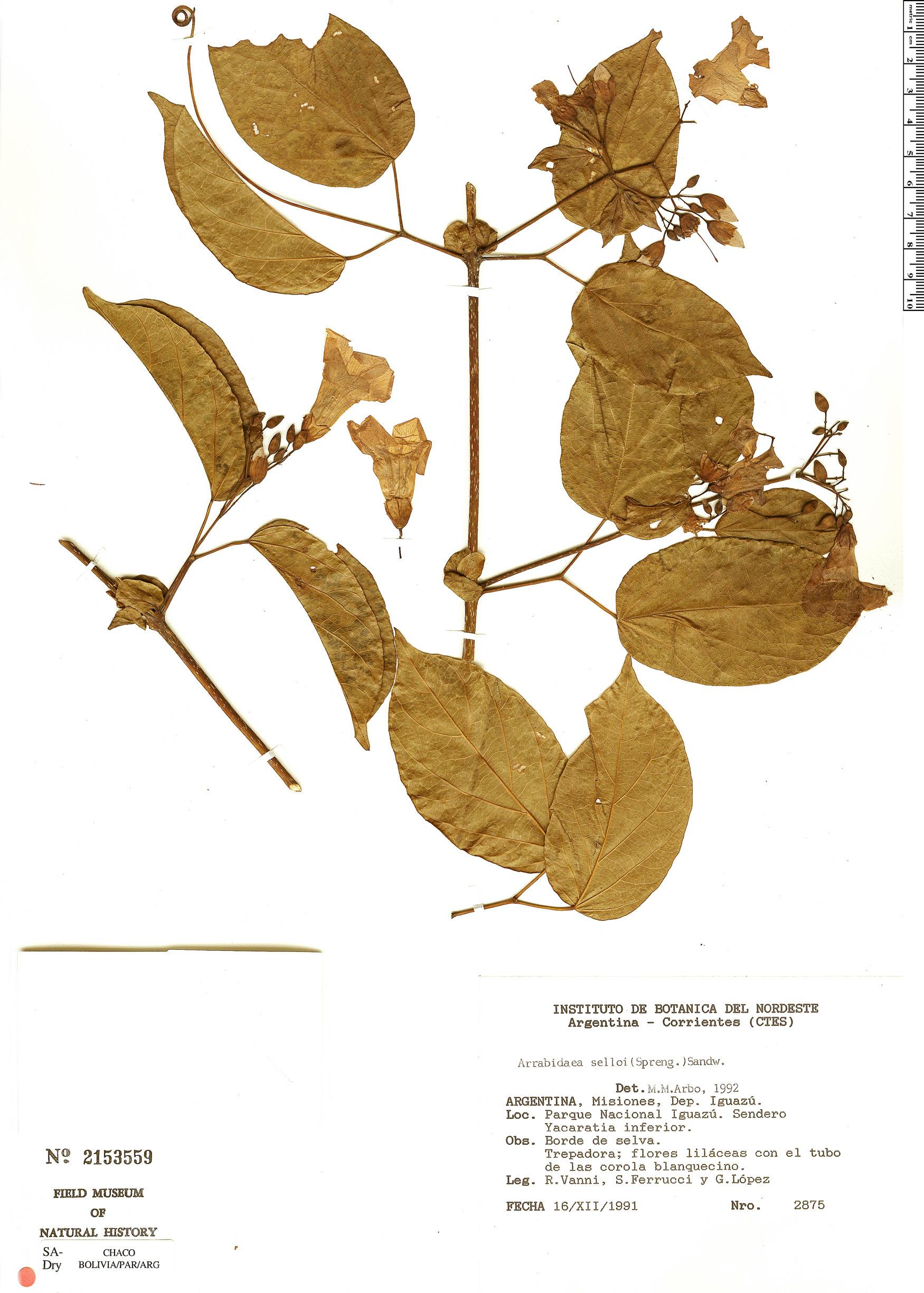 Specimen: Tanaecium selloi