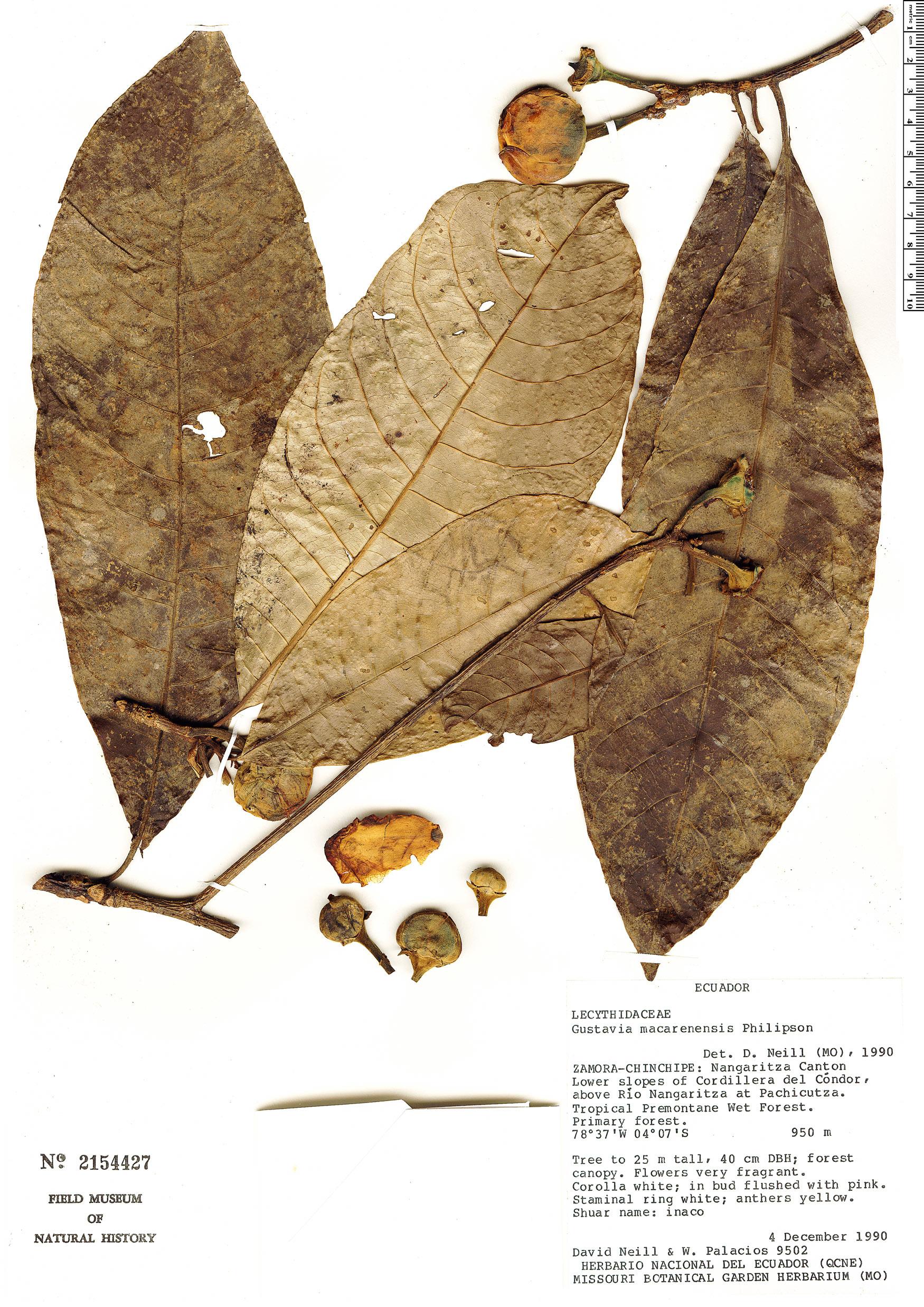 Specimen: Gustavia macarenensis