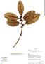Ficus americana subsp. andicola (Standl.) C. C. Berg, Ecuador, W. A. Palacios 5011, F