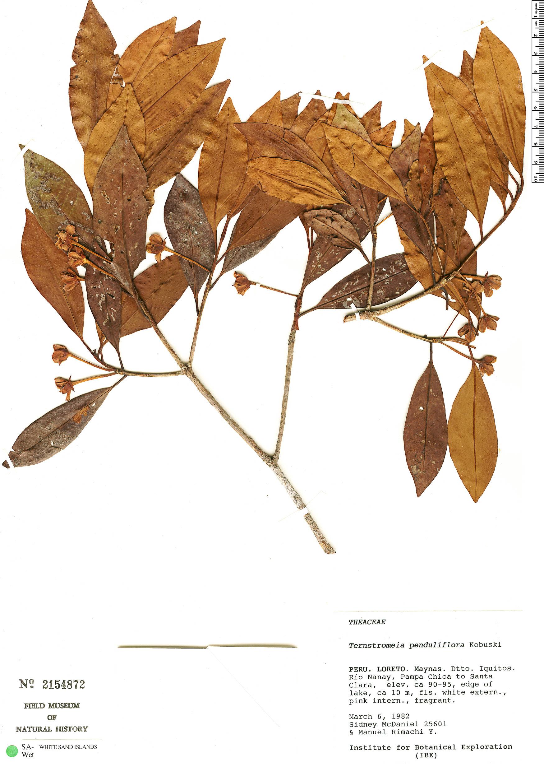 Specimen: Ternstroemia penduliflora