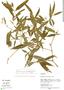Faramea quinqueflora Poepp. & Endl., Peru, S. T. McDaniel 31204, F