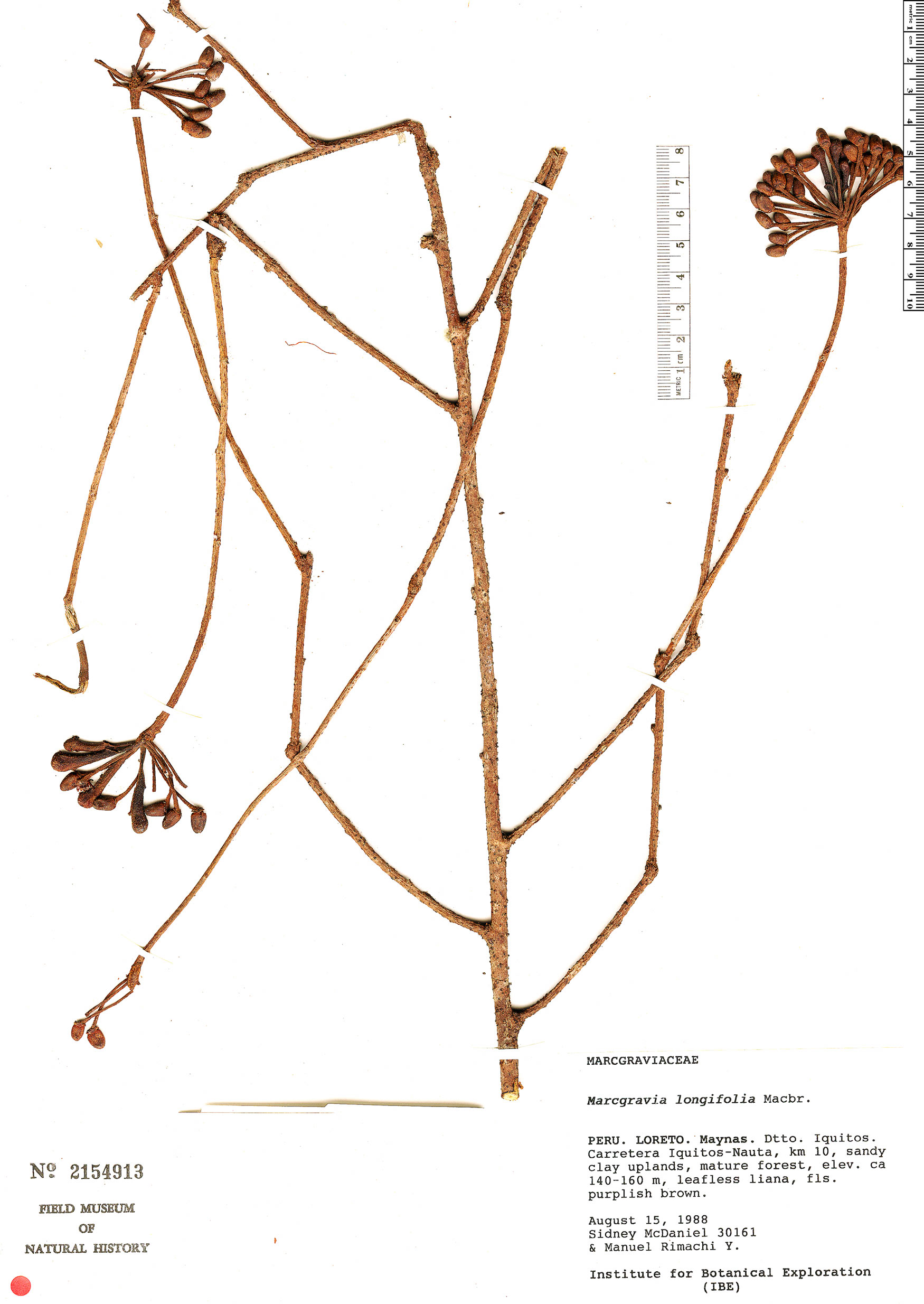 Specimen: Marcgravia longifolia