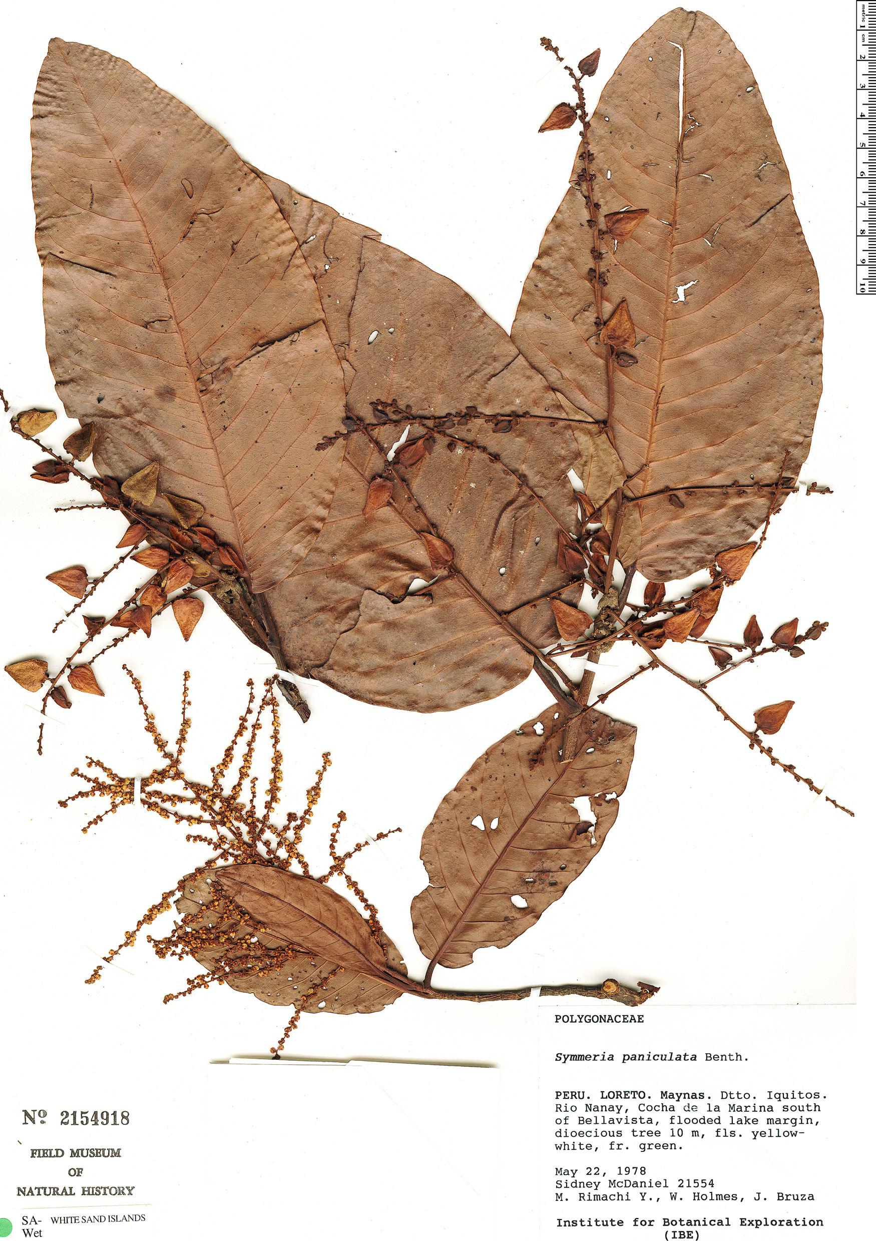 Specimen: Symmeria paniculata