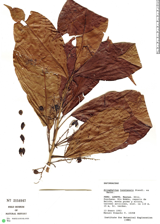 Specimen: Allophylus loretensis