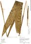 Geonoma macrostachys var. acaulis, Peru, M. Rimachi Y. 10600, F