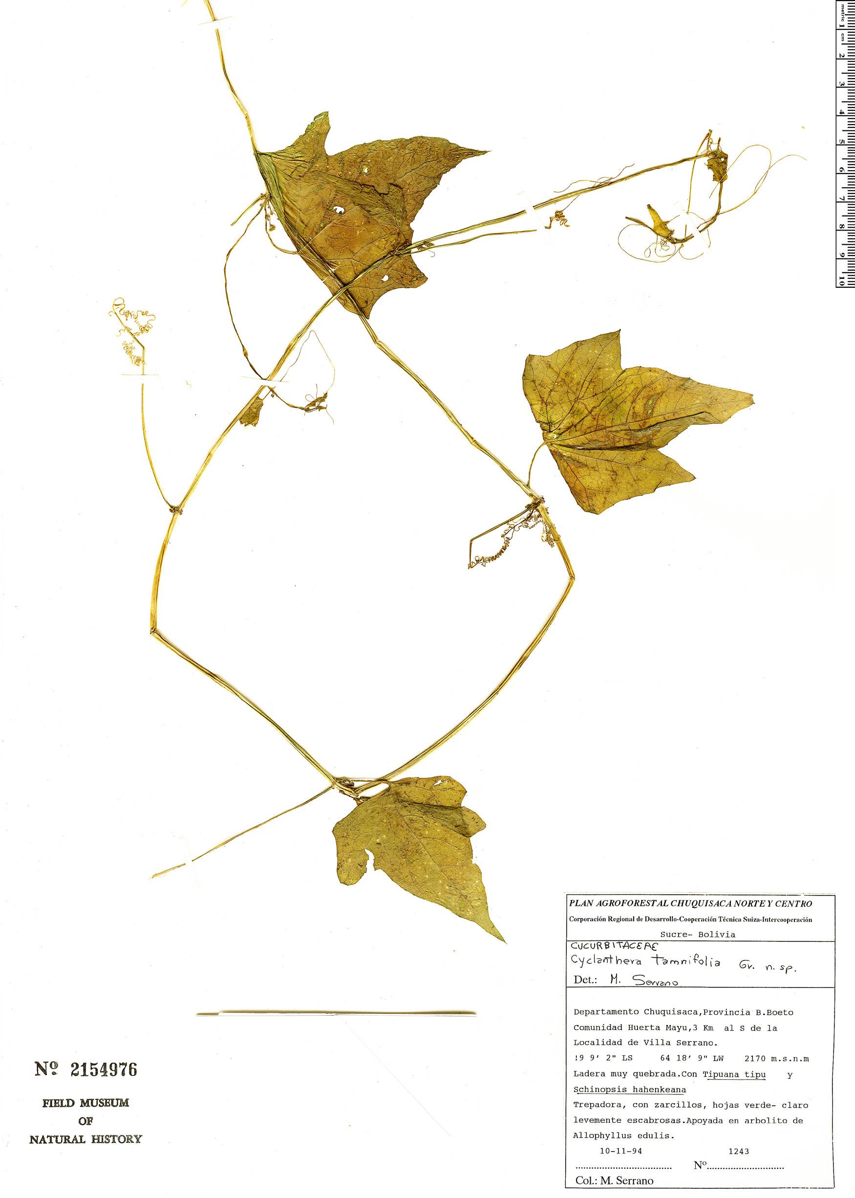 Specimen: Cyclanthera tamnifolia