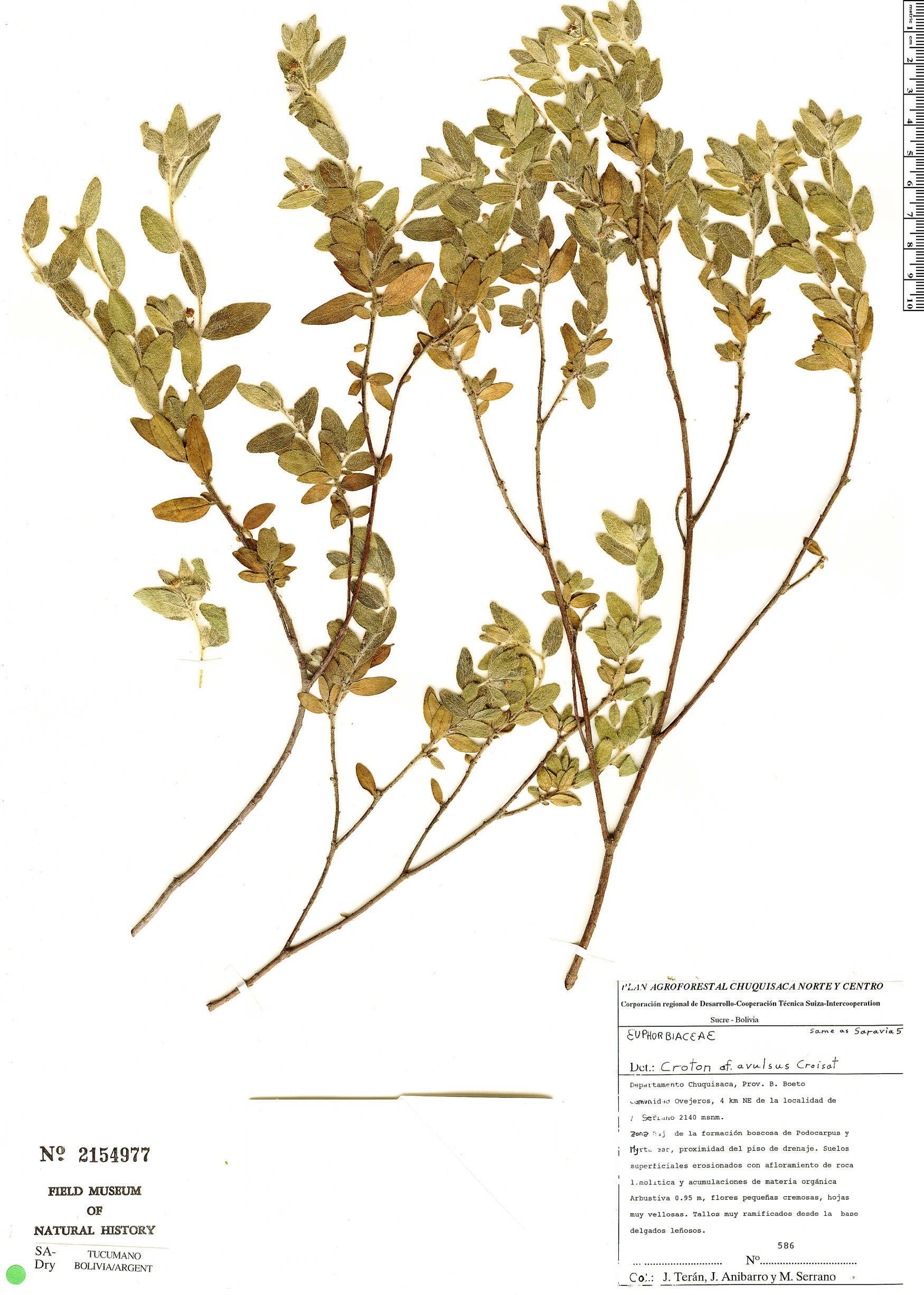 Specimen: Croton avulsus