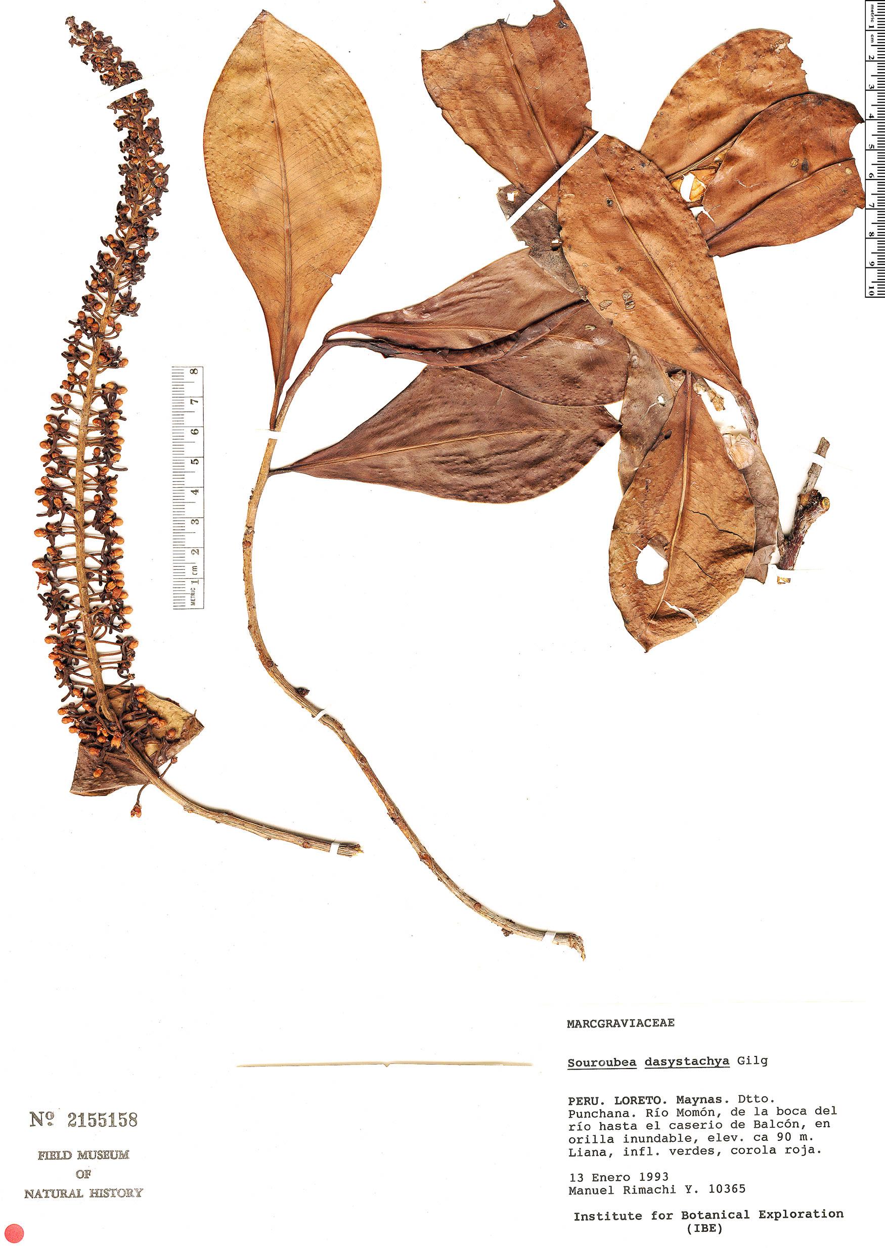 Specimen: Souroubea dasystachya