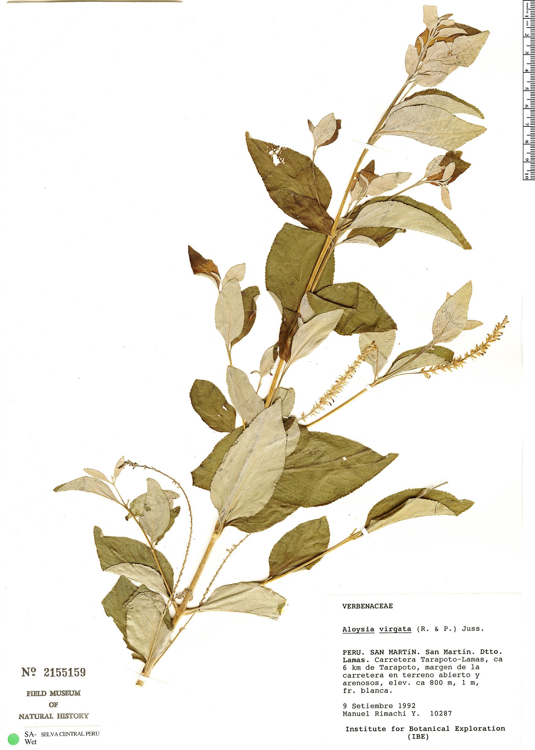 Specimen: Aloysia virgata