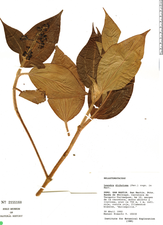 Specimen: Leandra dichotoma