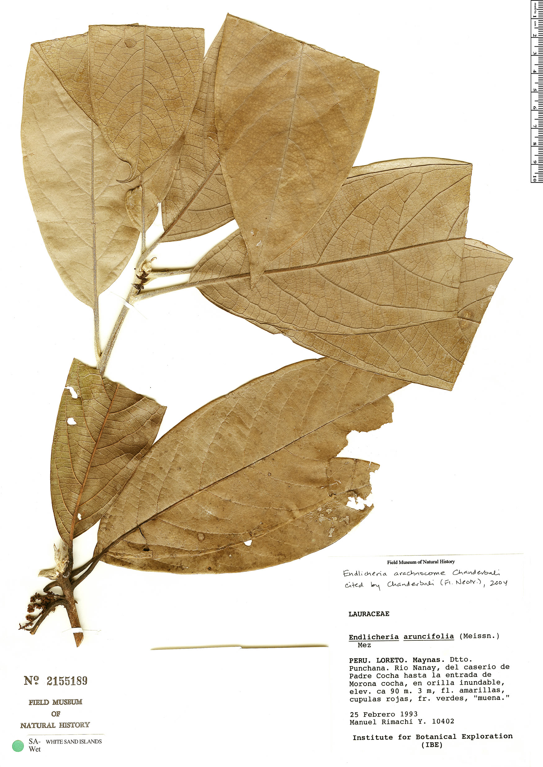 Specimen: Endlicheria arachnocome