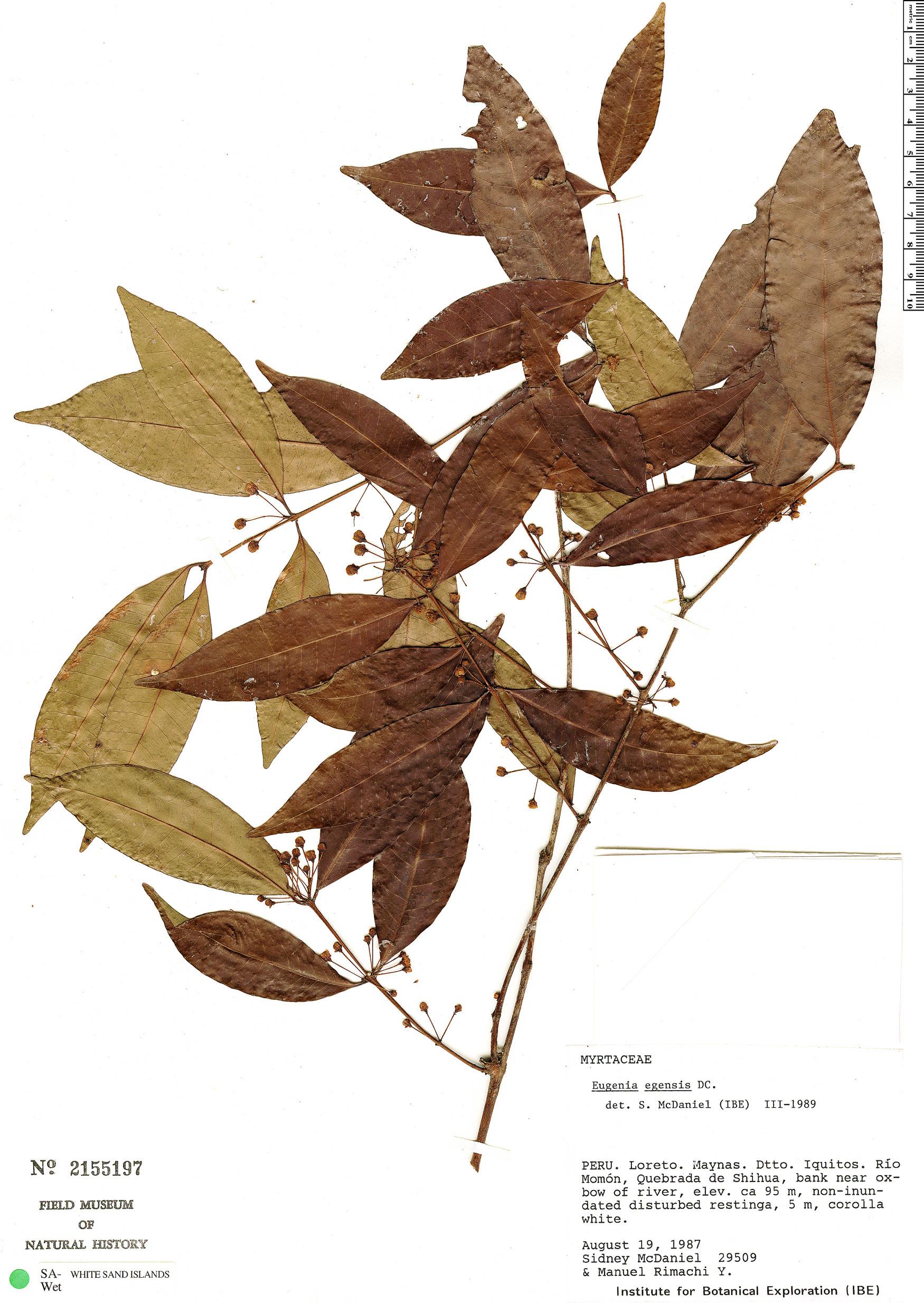 Specimen: Eugenia egensis