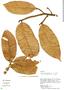 Helicostylis tomentosa, Peru, S. T. McDaniel 30151, F