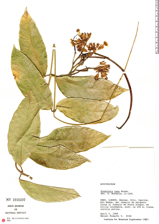 Specimen: Prestonia annularis