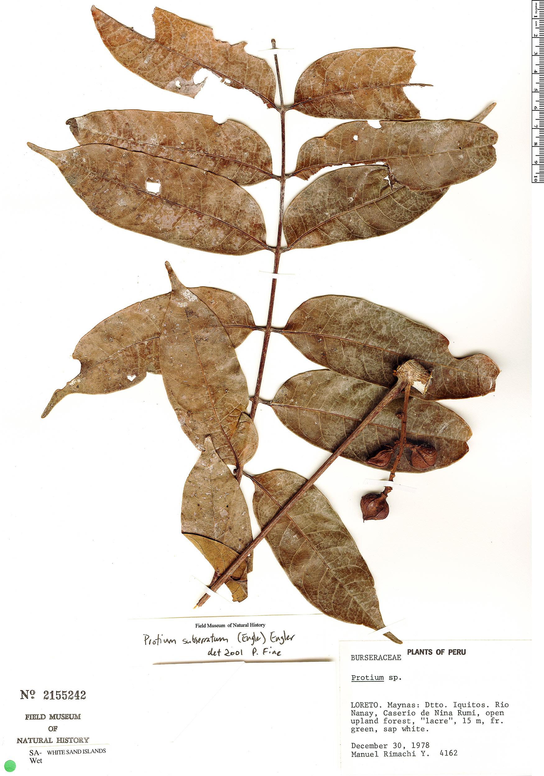Specimen: Protium subserratum