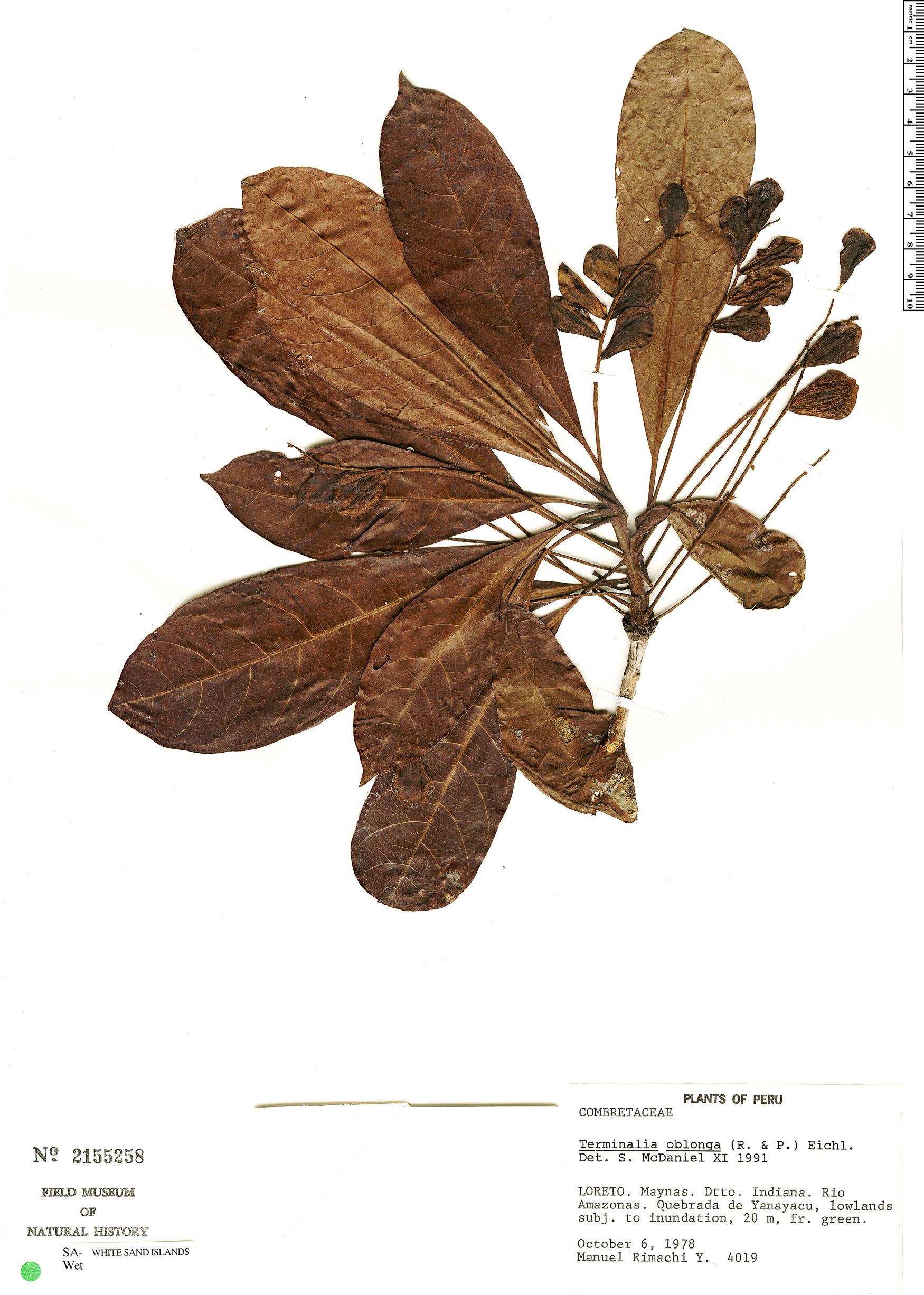 Specimen: Terminalia dichotoma