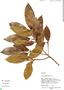 Ficus americana subsp. guianensis (Desv.) C. C. Berg, Peru, M. Rimachi Y. 10424, F