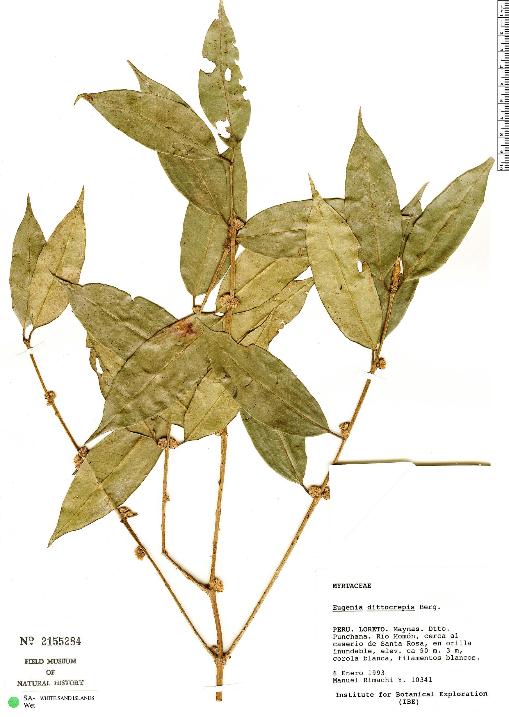 Specimen: Eugenia dittocrepis