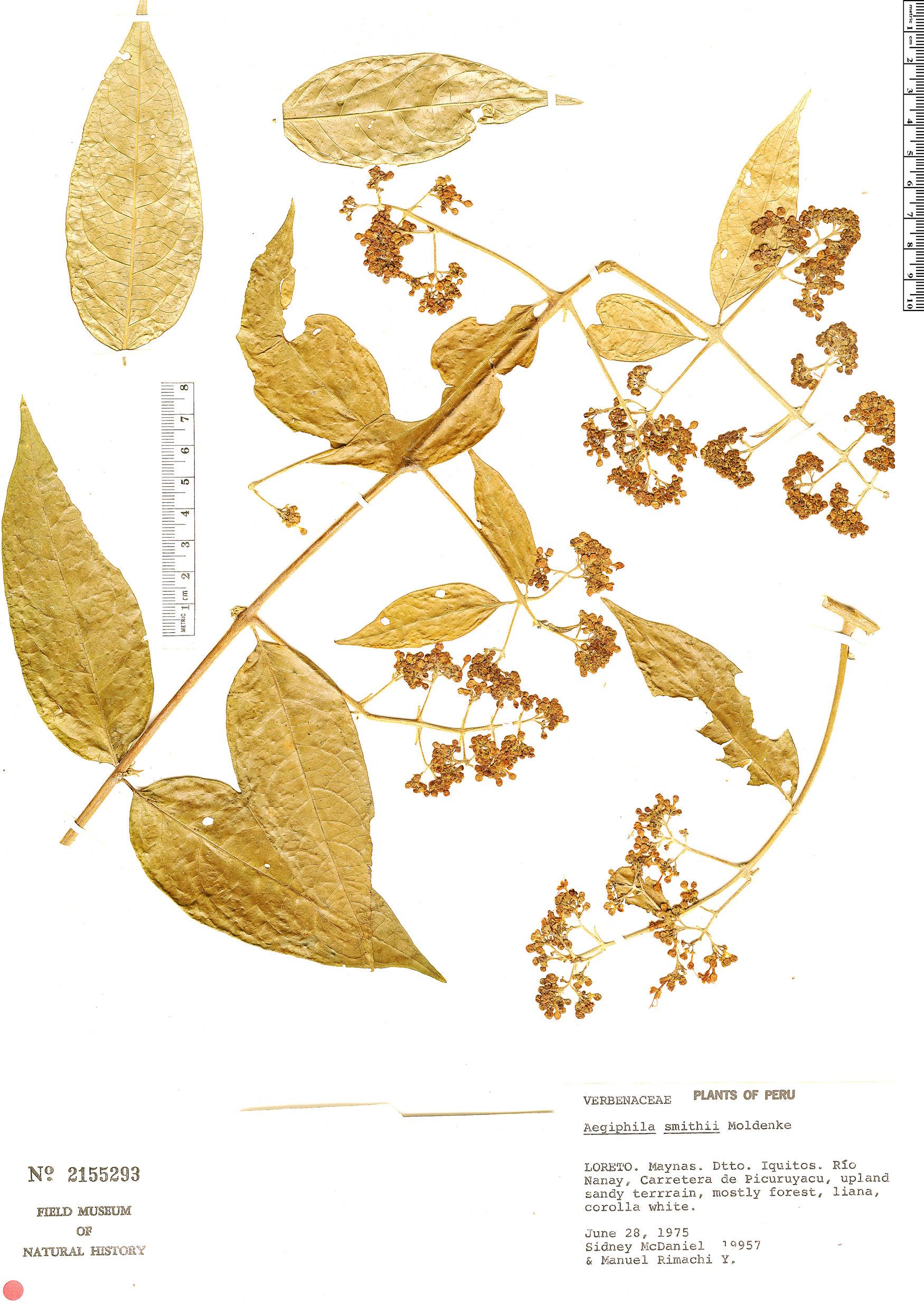 Specimen: Aegiphila smithii