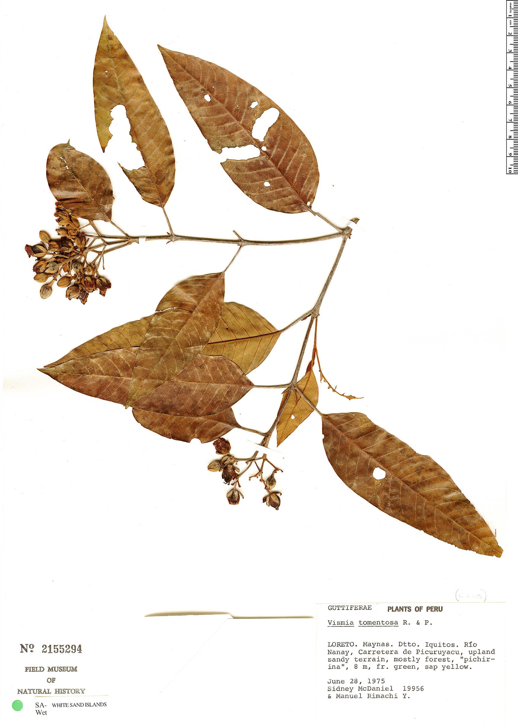 Espécimen: Vismia tomentosa