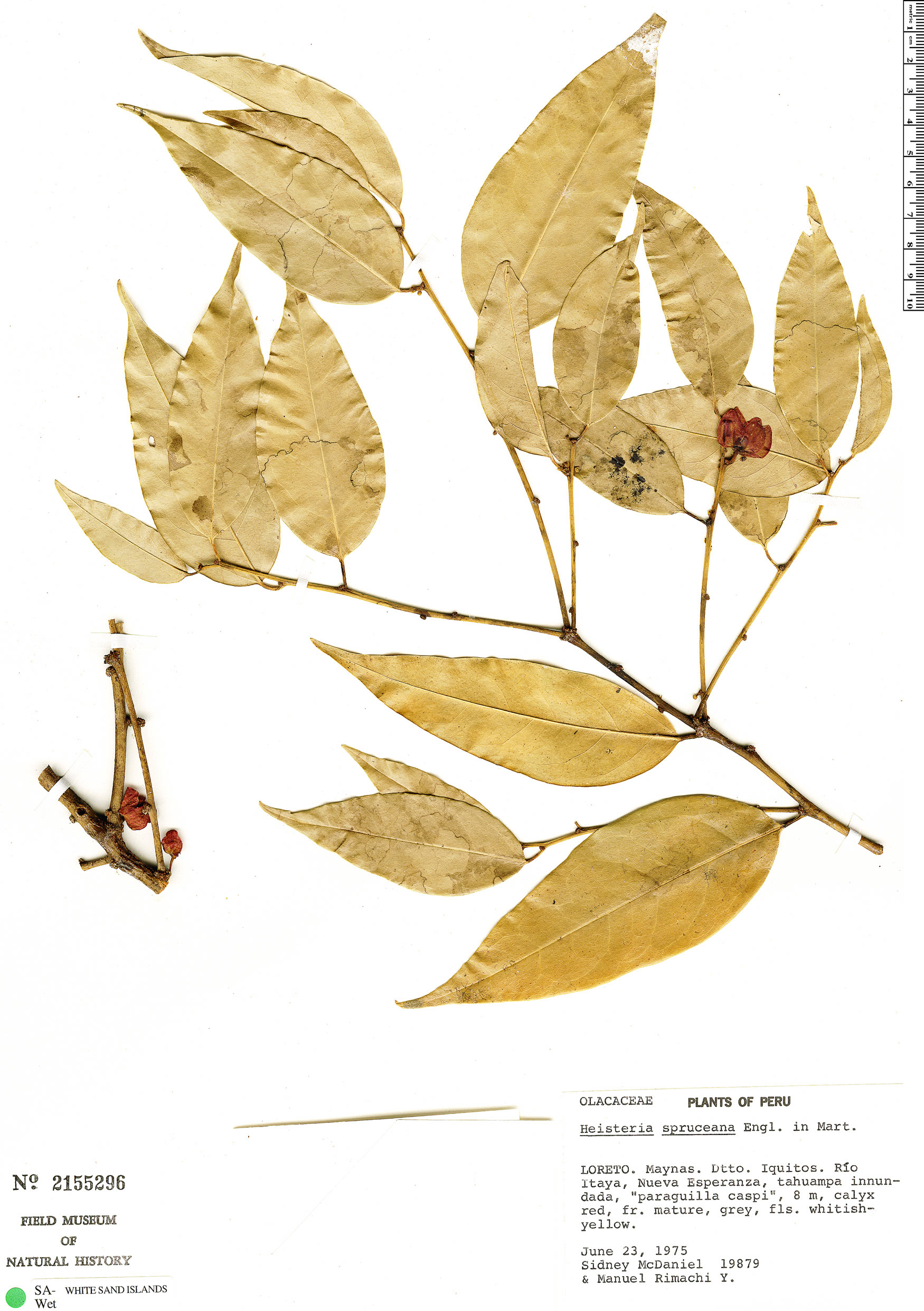 Espécime: Heisteria spruceana