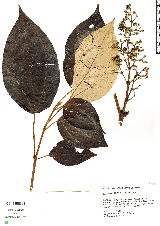 Specimen: Miconia amazonica