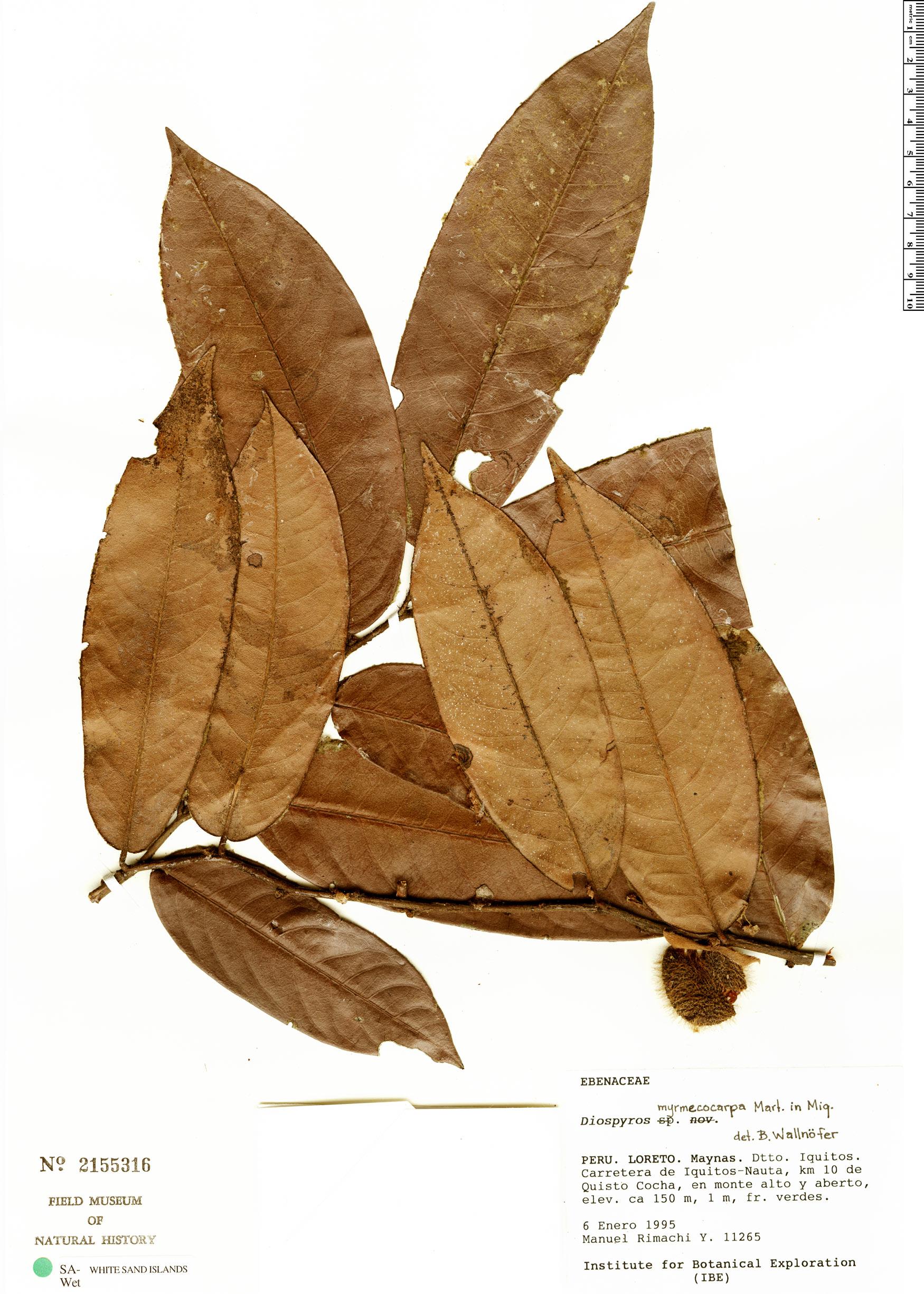 Specimen: Diospyros myrmecocarpa