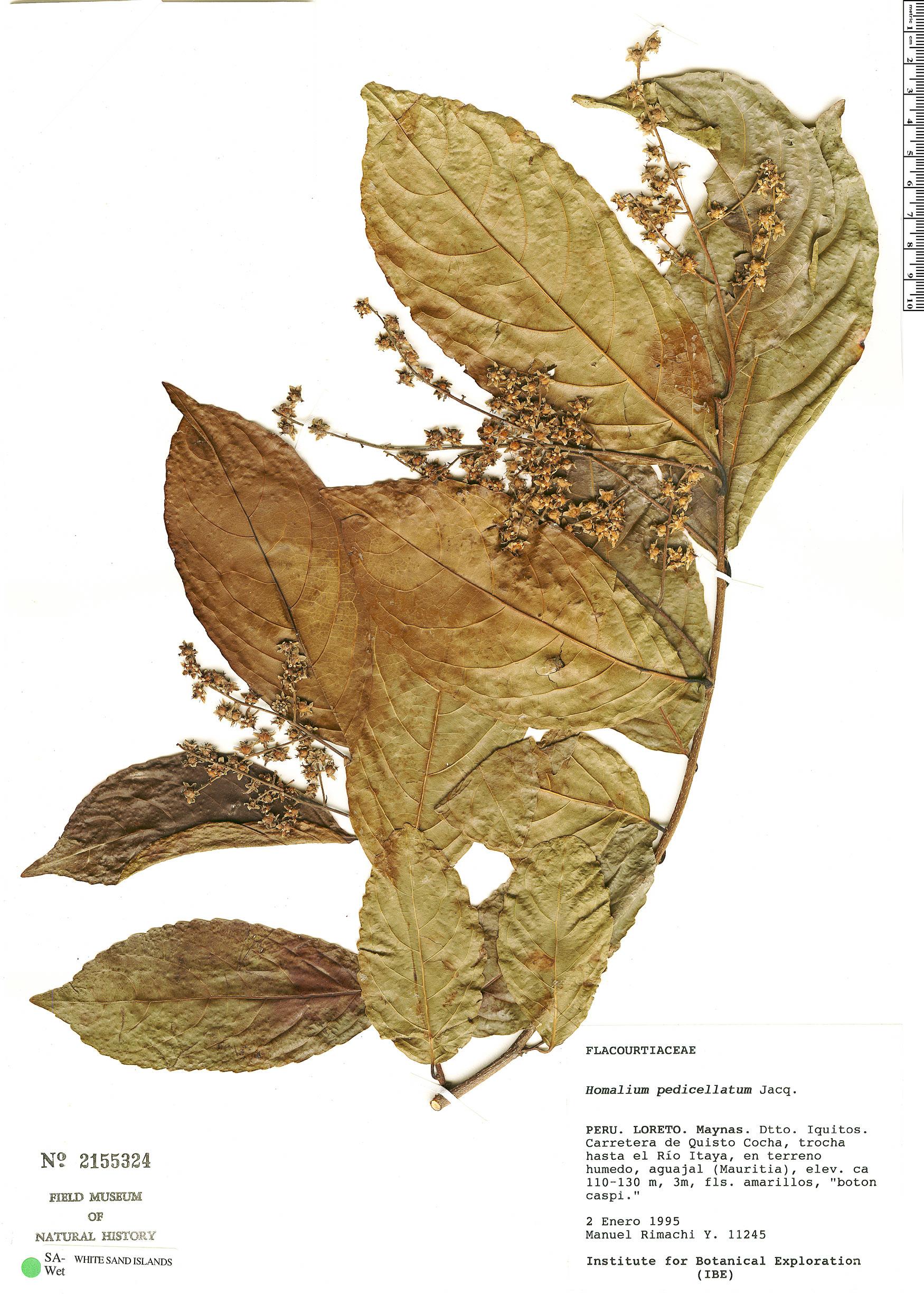 Specimen: Homalium racemosum