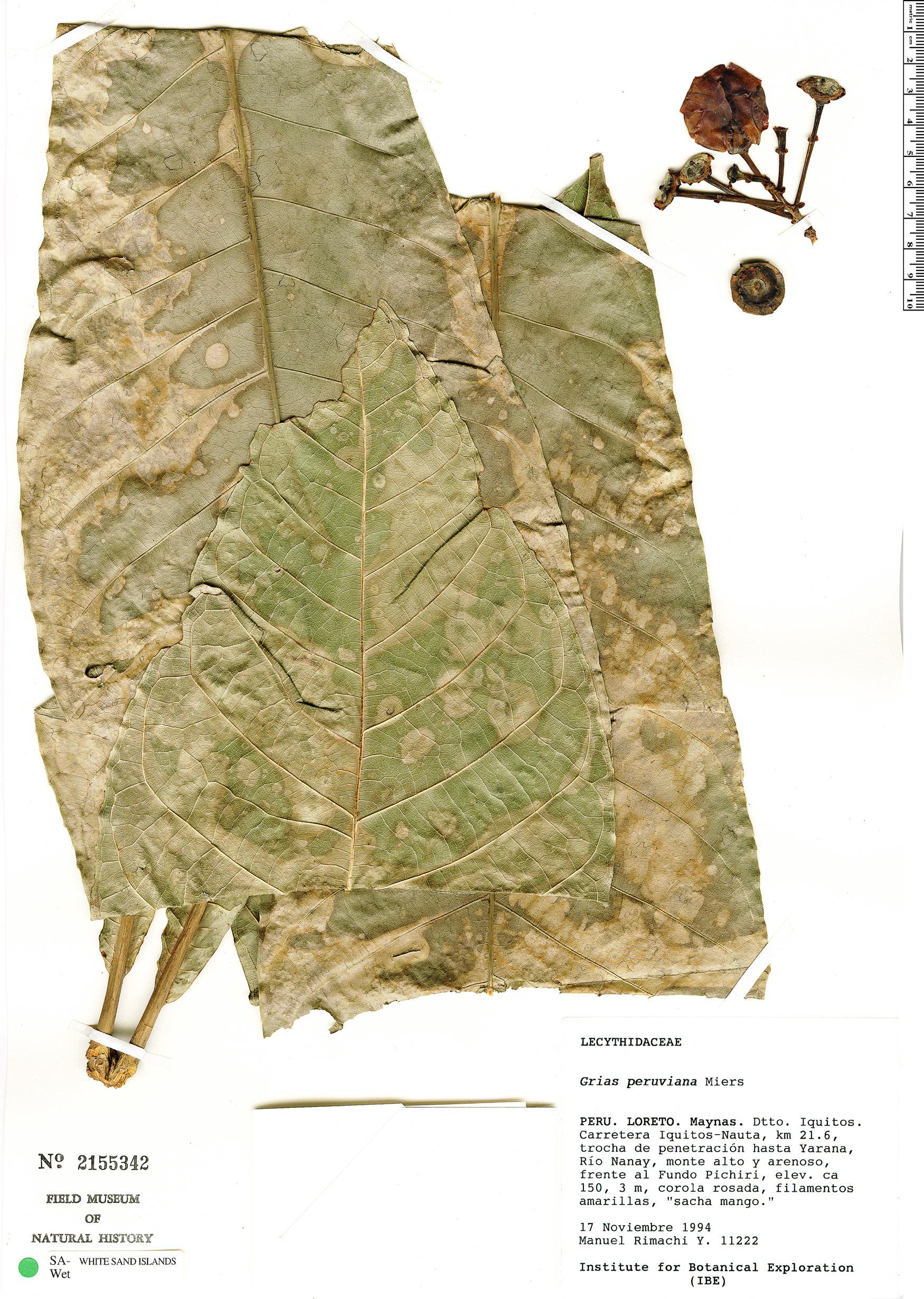 Specimen: Grias peruviana