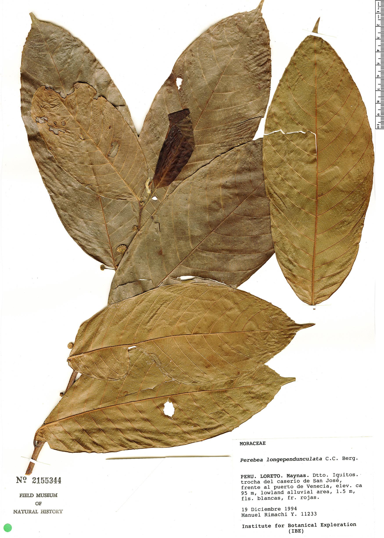 Specimen: Perebea longepedunculata