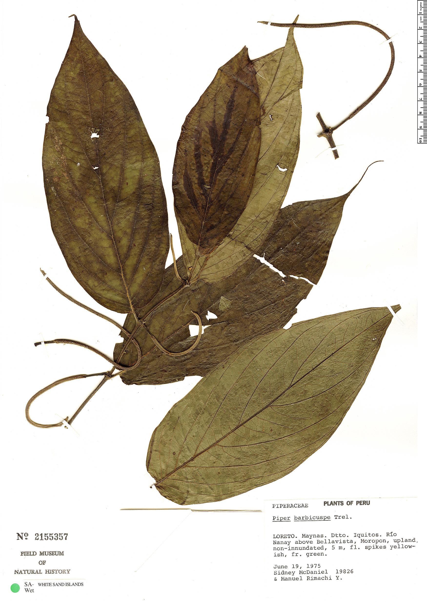 Specimen: Piper barbicuspe