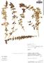 Salvia styphelus Epling, Peru, D. N. Smith 7356, F