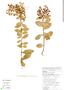 Gaultheria reticulata Kunth, Bolivia, J. Terán 1283, F