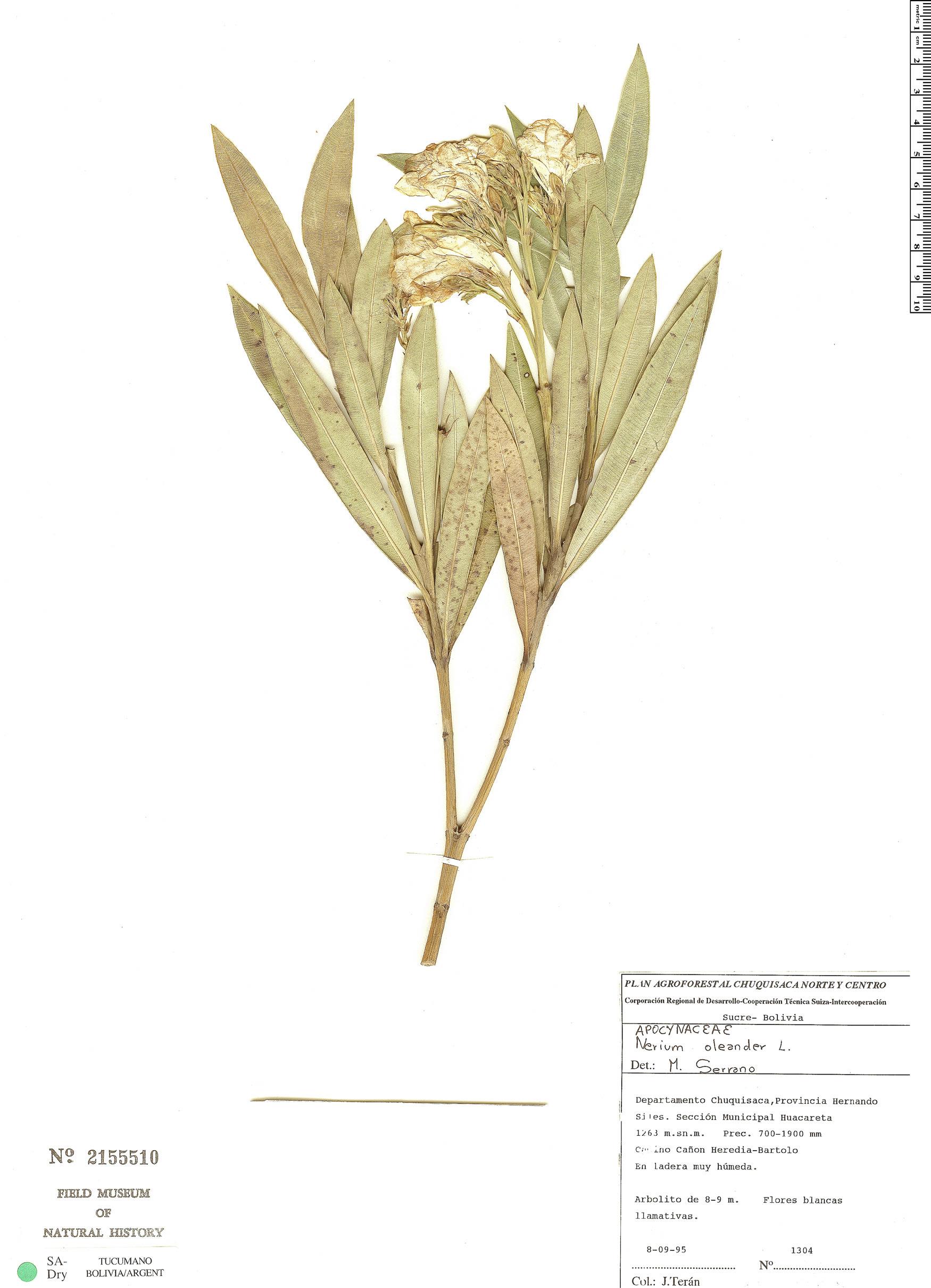 Specimen: Nerium oleander