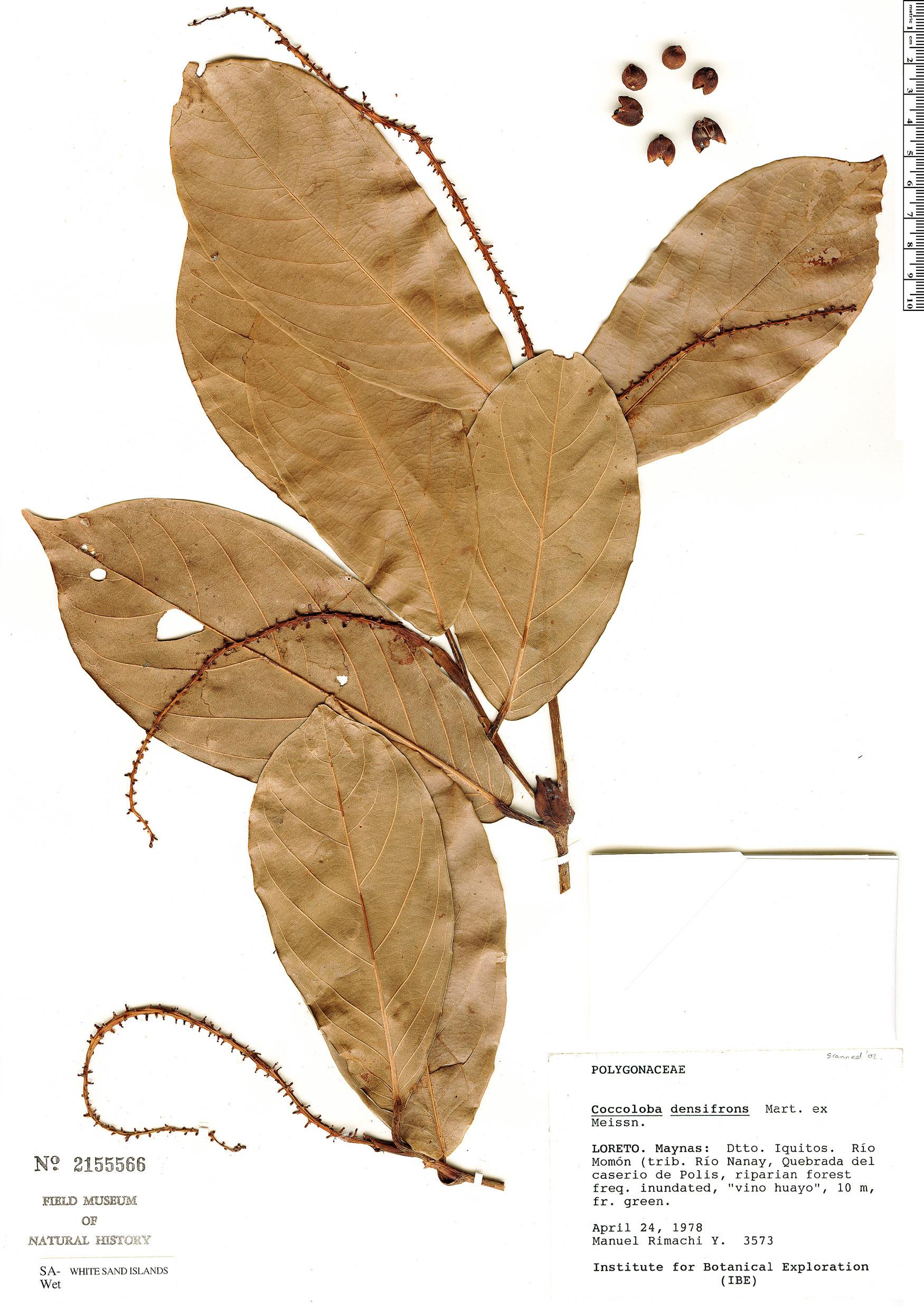 Specimen: Coccoloba densifrons