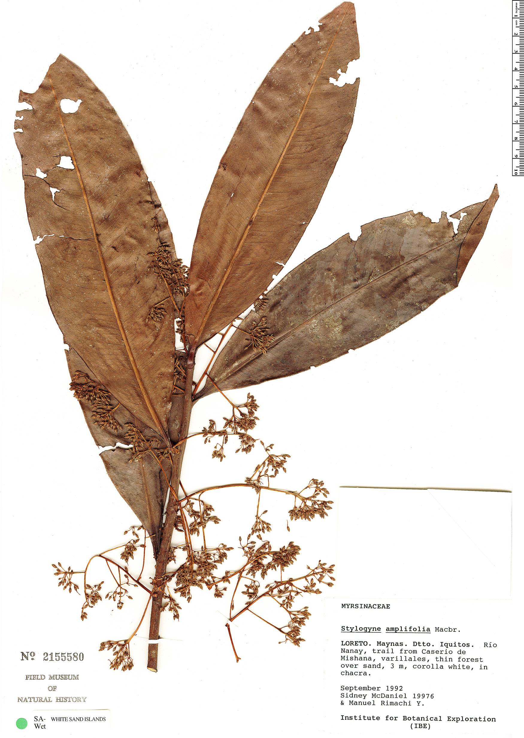 Specimen: Stylogyne longifolia