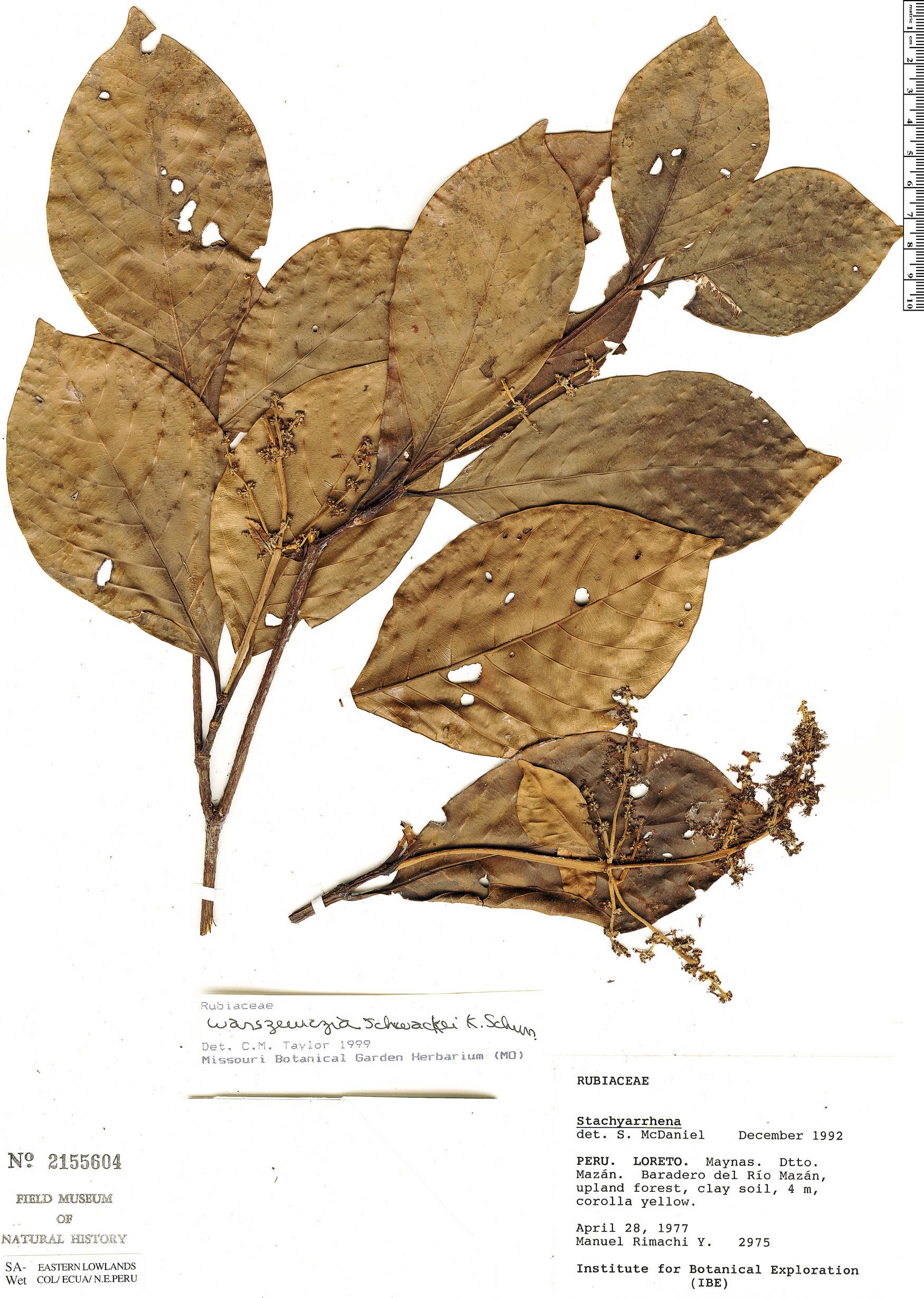 Specimen: Bathysa bathysoides