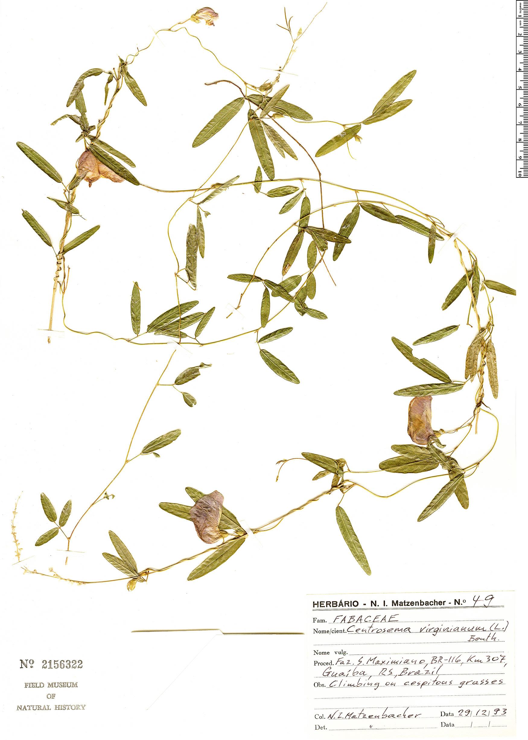 Specimen: Centrosema virginianum