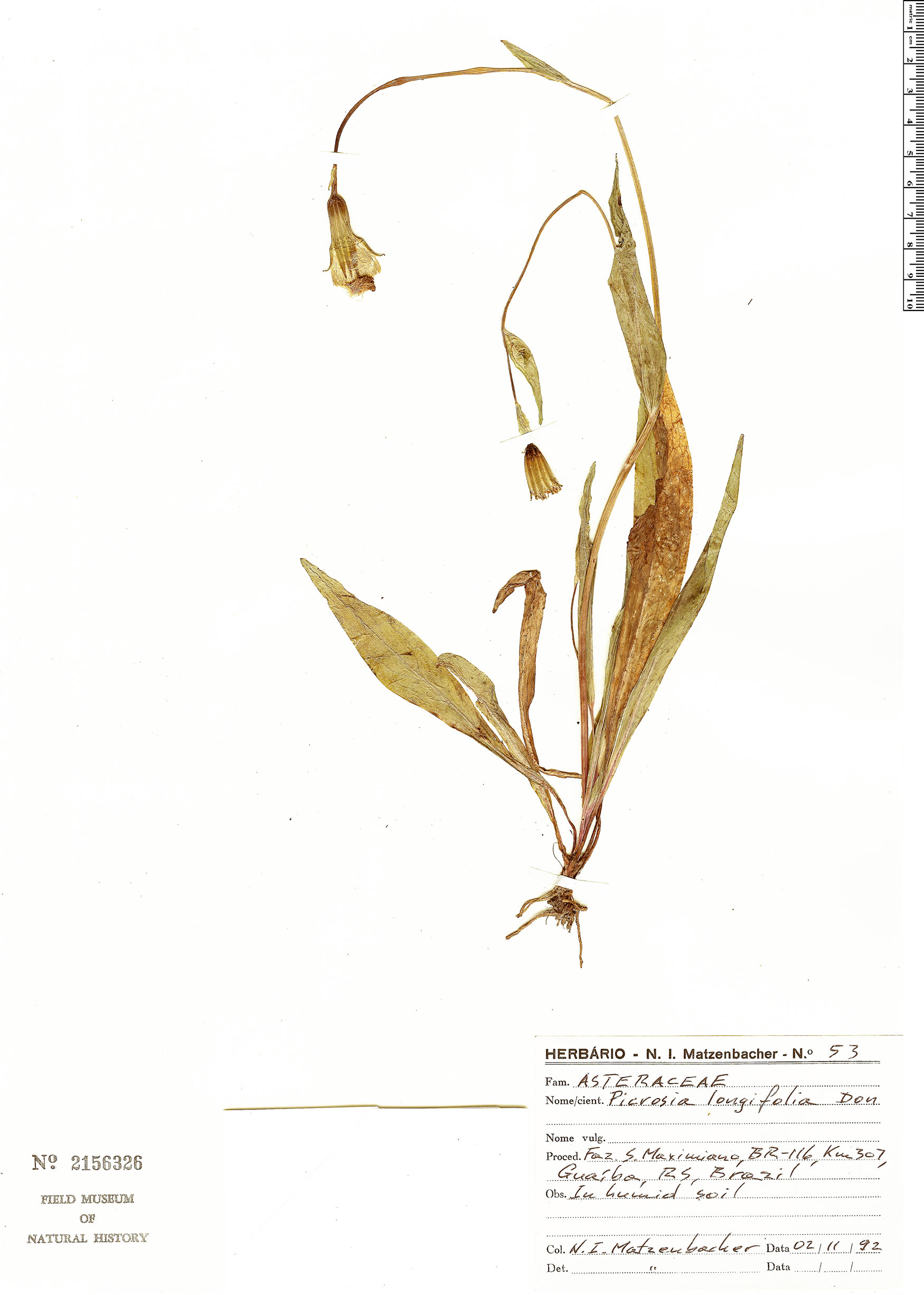 Picrosia image