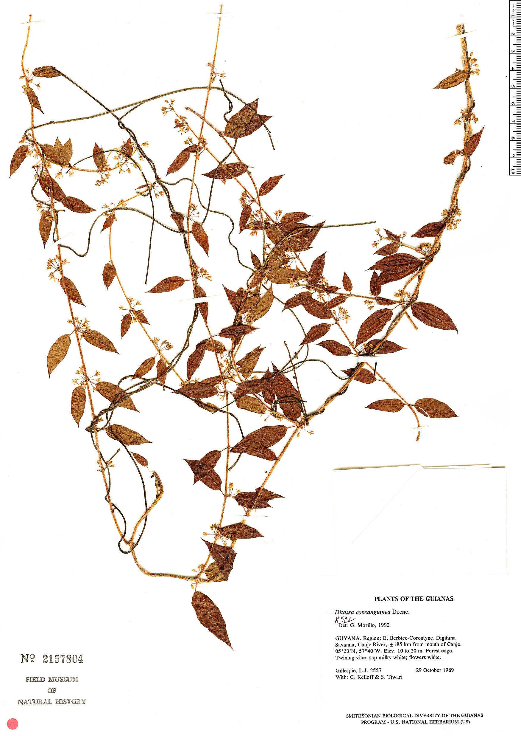 Specimen: Ditassa consanguinea