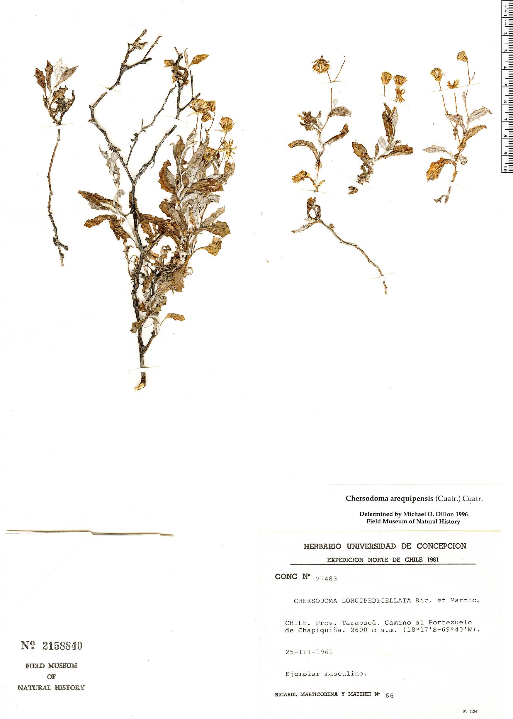 Specimen: Chersodoma arequipensis