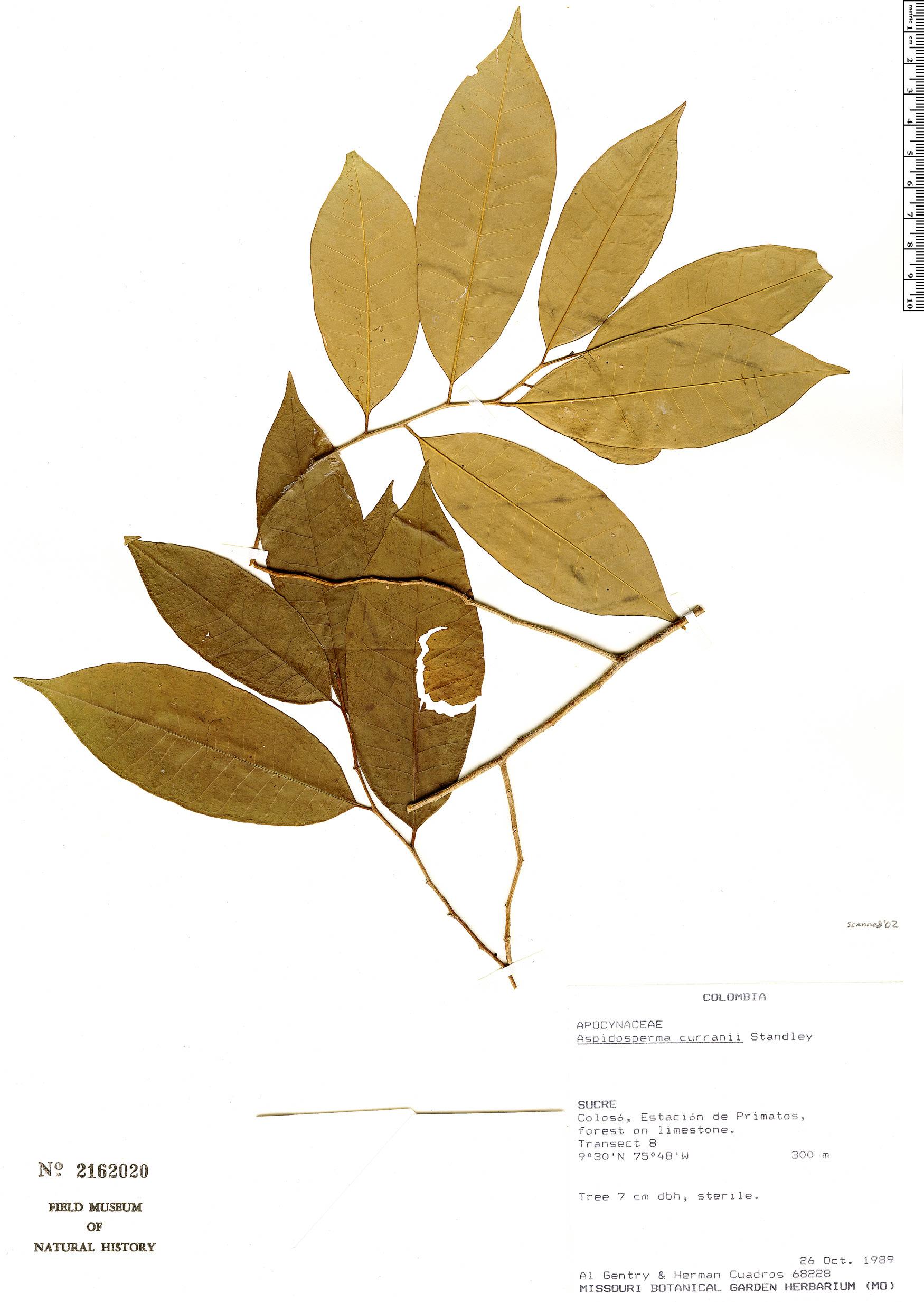 Specimen: Aspidosperma megalocarpon