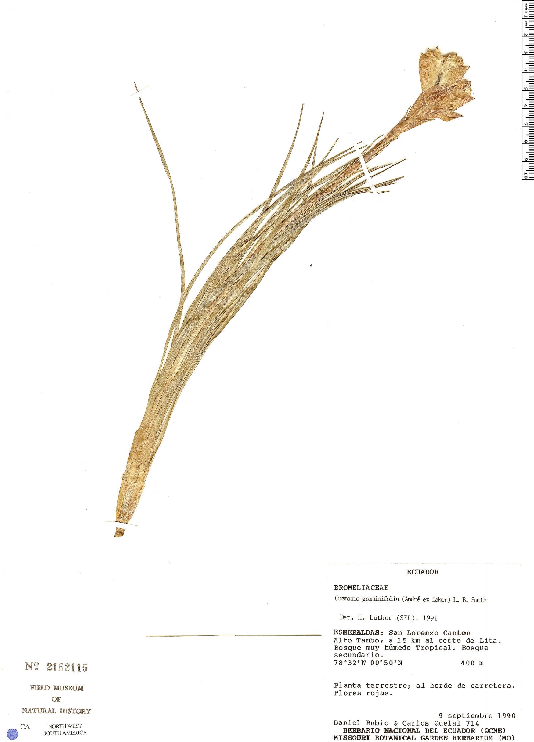 Specimen: Guzmania graminifolia