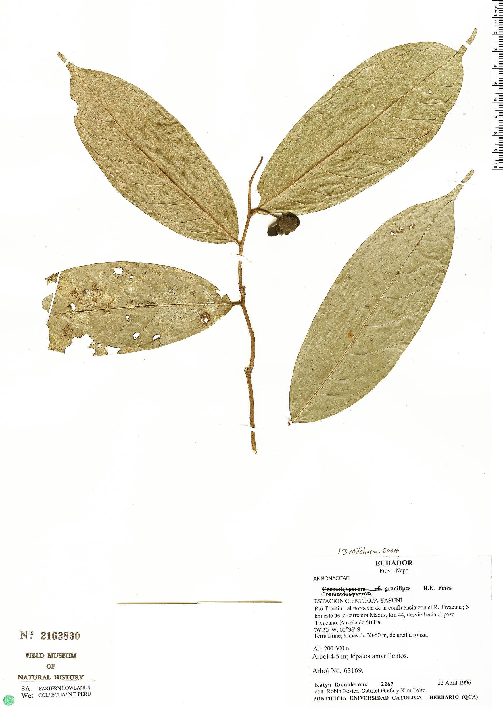 Espécime: Cremastosperma gracilipes